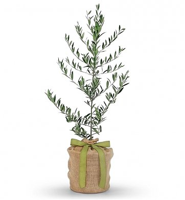 Olive tree plants a symbol of abundance peace and for What to plant under olive trees